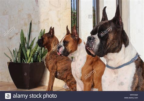 boxer colors fawn fawn boxer stock photos fawn boxer stock images alamy