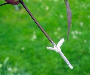 Ahorn Vermehren Steckling : vermehrung von acer palmatum var vegetative vermehrung ~ Lizthompson.info Haus und Dekorationen