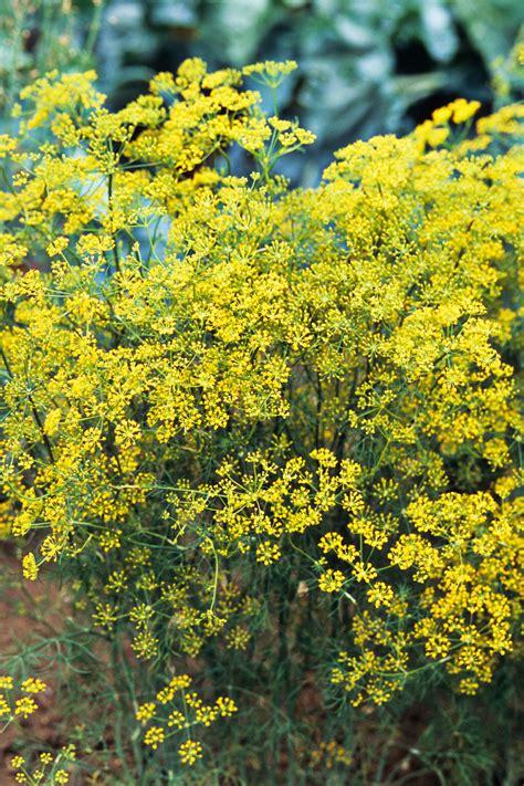 flowering herbs blooming herbs  flowers