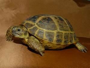 Baby Russian Tortoise Petco