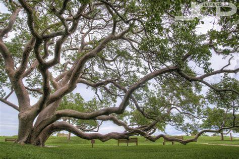 gumbo limbo tree  de soto national memorial park