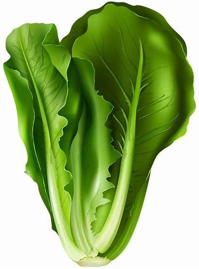 Lettuce Clip Transparent Romaine Clipart Leaf Vegetables