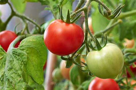 Tips For Growing Tomatoes In Colorado  Tagawa Gardens Blog