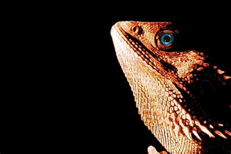 Read bearded dragon wallpaper apk detail and permission. Bearded Dragon Wallpaper ·① WallpaperTag