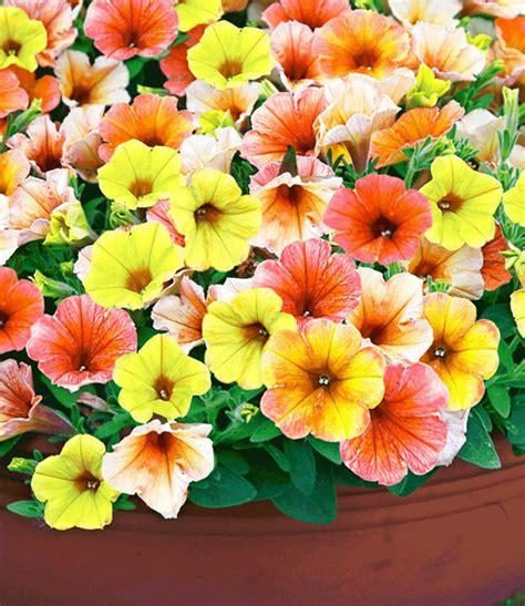 indian summer pflanze petunie indian summer balkonpflanzen bei baldur garten