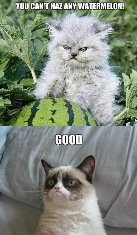 lol idea why laughed hard cat grumpy funny memes