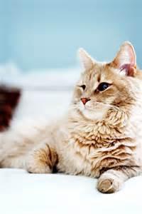 American Bobtail Manx Cats