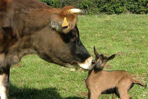 chambre d hotes var troupeau de chèvres et vaches de bellegarde dans le tarn