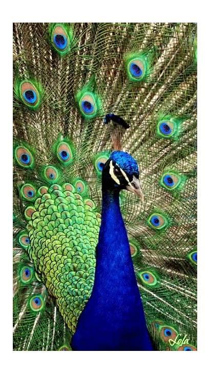 Peacock Animation Decent Scraps Code