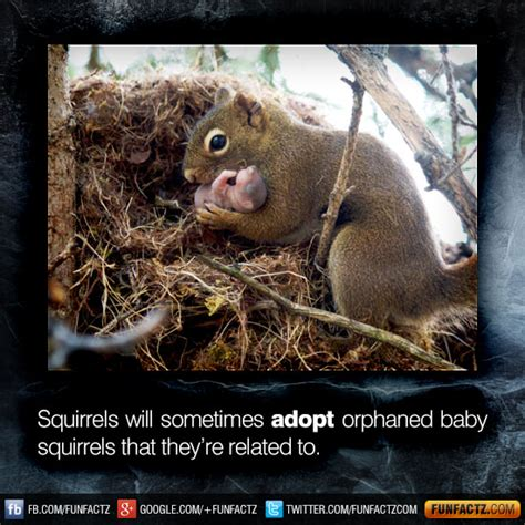 squirrels   adopt orphaned baby squirrels