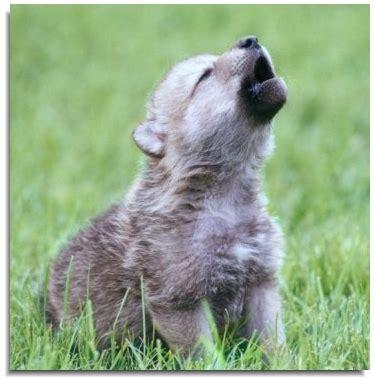 notre planete le loup