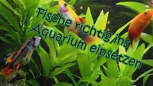 Aquarium Fische Süßwasser Liste : aquarium einen fisch richtig einsetzen youtube ~ Watch28wear.com Haus und Dekorationen