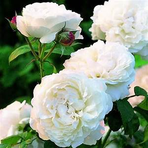 Beautiful White Roses Flowers | www.pixshark.com - Images ...