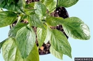 Tobacco Etch Virus  Tev   Potyvirus Tev   On Pepper