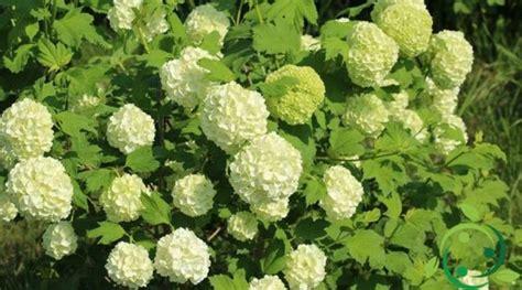 viburno in vaso come coltivare il viburno tecnica accorgimenti utili e