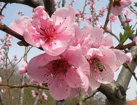 peach tree flowers apricot blossom fruit trees peach
