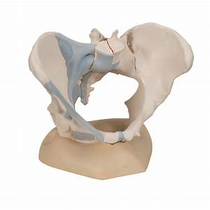 Anatomical Teaching Models