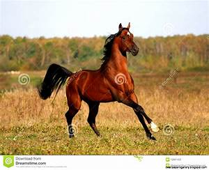 Bay Arabian Horse Head | Wallpapers Gallery