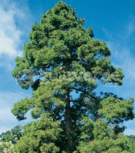 pinus canariensis pino canario