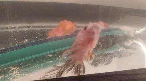 poissons rouges qui restent au fond de l aquarium forum poisson