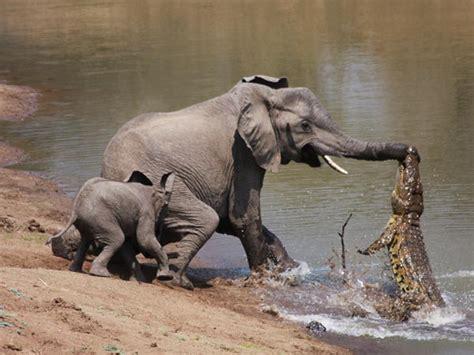 10 Ft Black Christmas Tree by Crocodile Attacks Elephant