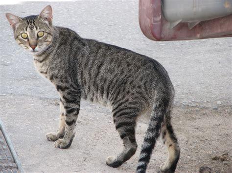 File:Striped cat at church in Ferragudo - The Algarve ...