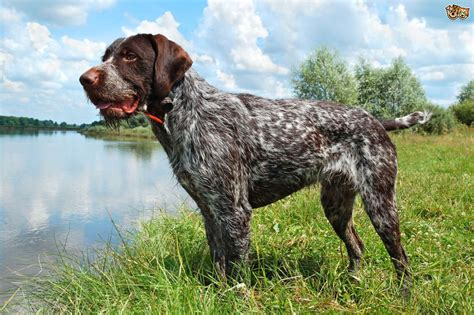 wire fox terrier shedding some popular wirehaired breeds pets4homes