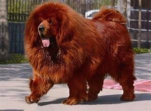 Tibetan Mastiff Red | Dogs | Pinterest | Red and Tibetan ...