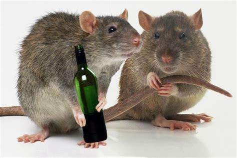 rats drank   booze  twelve