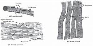 Muscle Tissue Drawing At Paintingvalley Com