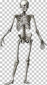 Ilustraci U00f3n De Hueso De Mano Gris  Esqueleto Humano Dibujo
