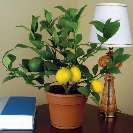 1000 ideas about lemon tree potted on lemon plant lemon tree plants and patio