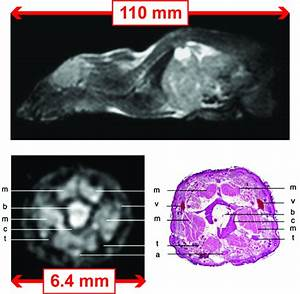 Mri Images Of The Mouse Acquired At 0 1 T Using A Fisp