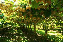 L Arbre Du Kiwi : kiwis sur l 39 arbre photographie stock libre de droits image 16804397 ~ Melissatoandfro.com Idées de Décoration