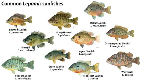 perch bream  sunfishwhats  difference
