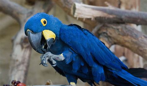 Also Known As The Hyacinth Macaw