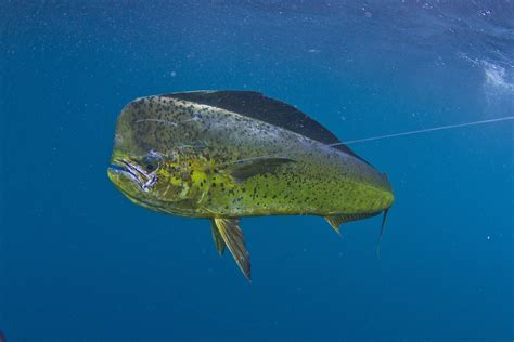 mahi dolphin fishing bluewater florida keys key west delphfishing