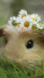 Guinea Pig with Daisies