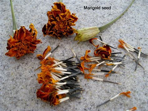 how to save zinnia seeds dont frack my nc flower garden seeds and plants 4 sale