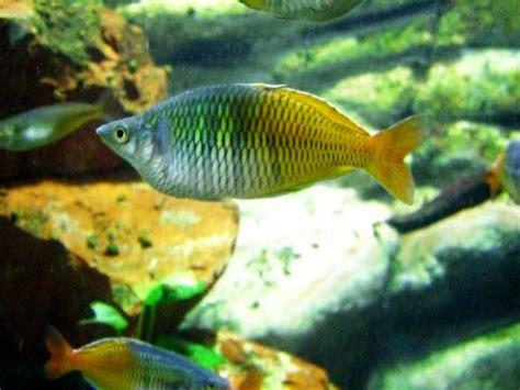poisson en aquarium poisson arc en ciel en images dinosoria