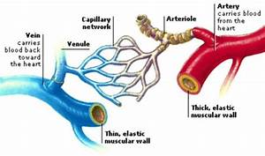 What Is The Difference Between Veins  Arteries And