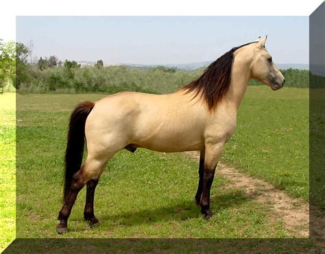 morgan horse horses different brown types breeds buckskin stallion american midas animals facts breed stand morgans fun quarter many dun