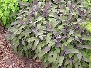 La Sauge Plante : plante magique sauge officinale talismans et amulettes ~ Melissatoandfro.com Idées de Décoration