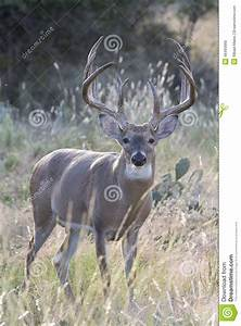 Huge Typical Whitetail Buck In Vertical Photograph Stock ...