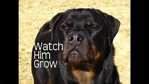 2 Year Old Growth Chart Rottweilers First Year Watch Him Grow Youtube