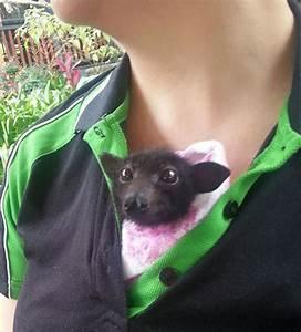 orphaned newborn bats at this australian bat clinic are