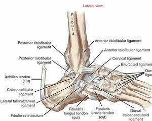 Ankle at Northern Arizona University - StudyBlue  Calcaneofibular