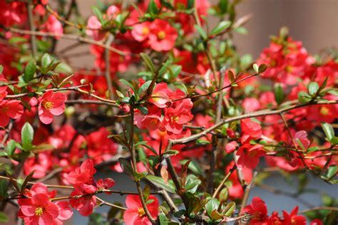 flowering quince flowering quince shrub