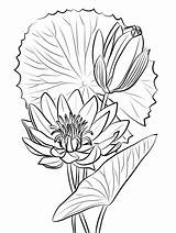 Coloring Pages Lily Water Printable sketch template