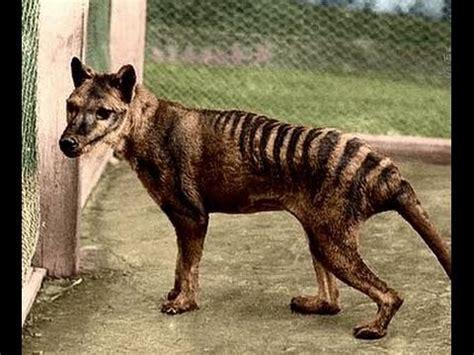 tasmanian tiger thylacine  extinct youtube